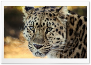 Leopard Close up HD Wide Wallpaper for Widescreen