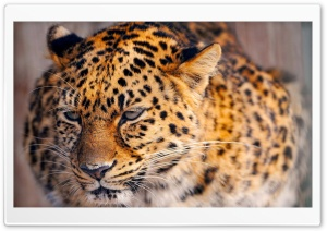 Leopard Close Up HD Wide Wallpaper for 4K UHD Widescreen desktop & smartphone