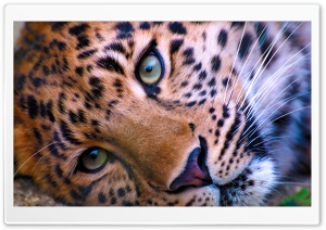 Leopard Face HD Wide Wallpaper for Widescreen