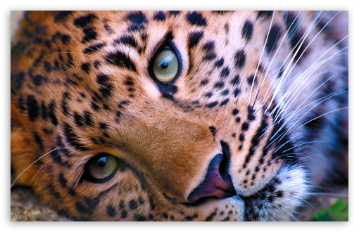 Leopard Face HD wallpaper for Wide 16:10 5:3 Widescreen WHXGA WQXGA WUXGA WXGA WGA ; HD 16:9 High Definition WQHD QWXGA 1080p 900p 720p QHD nHD ; UHD 16:9 WQHD QWXGA 1080p 900p 720p QHD nHD ; Mobile 5:3 - WGA ;