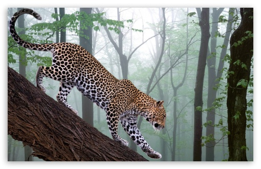 Leopard In Jungle HD wallpaper for Wide 16:10 5:3 Widescreen WHXGA WQXGA WUXGA WXGA WGA ; HD 16:9 High Definition WQHD QWXGA 1080p 900p 720p QHD nHD ; Standard 4:3 5:4 3:2 Fullscreen UXGA XGA SVGA QSXGA SXGA DVGA HVGA HQVGA devices ( Apple PowerBook G4 iPhone 4 3G 3GS iPod Touch ) ; iPad 1/2/Mini ; Mobile 4:3 5:3 3:2 5:4 - UXGA XGA SVGA WGA DVGA HVGA HQVGA devices ( Apple PowerBook G4 iPhone 4 3G 3GS iPod Touch ) QSXGA SXGA ;