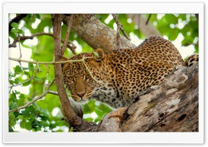 Leopard In The Wild HD Wide Wallpaper for Widescreen