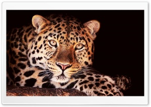 Leopard In Tree HD Wide Wallpaper for Widescreen
