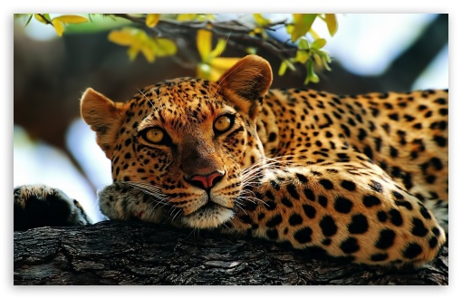 Leopard in Tree HD wallpaper for Wide 16:10 5:3 Widescreen WHXGA WQXGA WUXGA WXGA WGA ; HD 16:9 High Definition WQHD QWXGA 1080p 900p 720p QHD nHD ; Standard 4:3 3:2 Fullscreen UXGA XGA SVGA DVGA HVGA HQVGA devices ( Apple PowerBook G4 iPhone 4 3G 3GS iPod Touch ) ; iPad 1/2/Mini ; Mobile 4:3 5:3 3:2 16:9 - UXGA XGA SVGA WGA DVGA HVGA HQVGA devices ( Apple PowerBook G4 iPhone 4 3G 3GS iPod Touch ) WQHD QWXGA 1080p 900p 720p QHD nHD ;