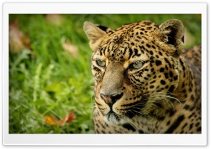Leopard Look HD Wide Wallpaper for Widescreen