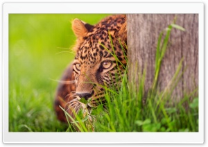 Leopard Looking HD Wide Wallpaper for Widescreen