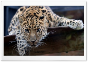 Leopard Ready To Attack HD Wide Wallpaper for Widescreen