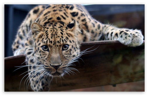 Leopard Ready To Attack HD wallpaper for Wide 16:10 5:3 Widescreen WHXGA WQXGA WUXGA WXGA WGA ; HD 16:9 High Definition WQHD QWXGA 1080p 900p 720p QHD nHD ; Standard 4:3 5:4 3:2 Fullscreen UXGA XGA SVGA QSXGA SXGA DVGA HVGA HQVGA devices ( Apple PowerBook G4 iPhone 4 3G 3GS iPod Touch ) ; iPad 1/2/Mini ; Mobile 4:3 5:3 3:2 16:9 5:4 - UXGA XGA SVGA WGA DVGA HVGA HQVGA devices ( Apple PowerBook G4 iPhone 4 3G 3GS iPod Touch ) WQHD QWXGA 1080p 900p 720p QHD nHD QSXGA SXGA ;