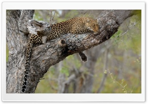Leopard Relaxation HD Wide Wallpaper for 4K UHD Widescreen desktop & smartphone