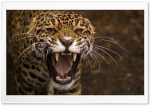 Leopard Roar HD Wide Wallpaper for 4K UHD Widescreen desktop & smartphone