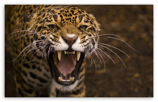 Leopard Roar HD wallpaper for Wide 16:10 5:3 Widescreen WHXGA WQXGA WUXGA WXGA WGA ; HD 16:9 High Definition WQHD QWXGA 1080p 900p 720p QHD nHD ; Standard 4:3 5:4 3:2 Fullscreen UXGA XGA SVGA QSXGA SXGA DVGA HVGA HQVGA devices ( Apple PowerBook G4 iPhone 4 3G 3GS iPod Touch ) ; Tablet 1:1 ; iPad 1/2/Mini ; Mobile 4:3 5:3 3:2 16:9 5:4 - UXGA XGA SVGA WGA DVGA HVGA HQVGA devices ( Apple PowerBook G4 iPhone 4 3G 3GS iPod Touch ) WQHD QWXGA 1080p 900p 720p QHD nHD QSXGA SXGA ;
