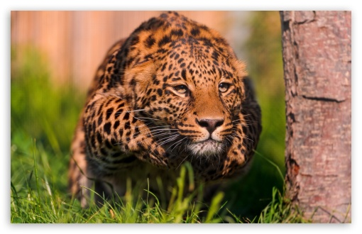 Leopard Running ❤ 4K UHD Wallpaper for Wide 16:10 5:3 Widescreen WHXGA WQXGA WUXGA WXGA WGA ; 4K UHD 16:9 Ultra High Definition 2160p 1440p 1080p 900p 720p ; Standard 4:3 5:4 3:2 Fullscreen UXGA XGA SVGA QSXGA SXGA DVGA HVGA HQVGA ( Apple PowerBook G4 iPhone 4 3G 3GS iPod Touch ) ; Tablet 1:1 ; iPad 1/2/Mini ; Mobile 4:3 5:3 3:2 16:9 5:4 - UXGA XGA SVGA WGA DVGA HVGA HQVGA ( Apple PowerBook G4 iPhone 4 3G 3GS iPod Touch ) 2160p 1440p 1080p 900p 720p QSXGA SXGA ;