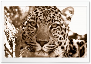 Leopard Sepia HD Wide Wallpaper for Widescreen