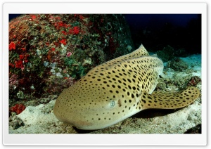 Leopard Shark HD Wide Wallpaper for Widescreen