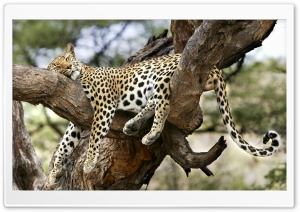 Leopard Sleeping In Tree HD Wide Wallpaper for 4K UHD Widescreen desktop & smartphone
