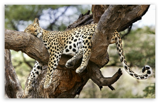 Leopard Sleeping In Tree ❤ 4K UHD Wallpaper for Wide 16:10 5:3 Widescreen WHXGA WQXGA WUXGA WXGA WGA ; 4K UHD 16:9 Ultra High Definition 2160p 1440p 1080p 900p 720p ; Standard 4:3 3:2 Fullscreen UXGA XGA SVGA DVGA HVGA HQVGA ( Apple PowerBook G4 iPhone 4 3G 3GS iPod Touch ) ; iPad 1/2/Mini ; Mobile 4:3 5:3 3:2 16:9 - UXGA XGA SVGA WGA DVGA HVGA HQVGA ( Apple PowerBook G4 iPhone 4 3G 3GS iPod Touch ) 2160p 1440p 1080p 900p 720p ;