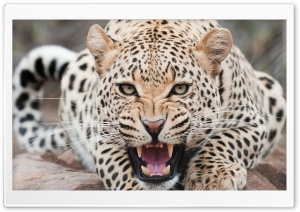 Leopard, Wildlife HD Wide Wallpaper for Widescreen