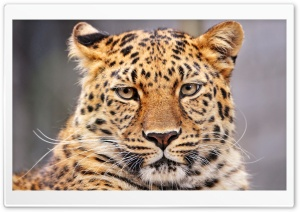 Leopard With A Bored Look HD Wide Wallpaper for 4K UHD Widescreen desktop & smartphone