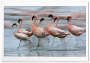 Lesser Flamingos In Motion Lake Nakuru National Park Kenya Africa HD Wide Wallpaper for Widescreen