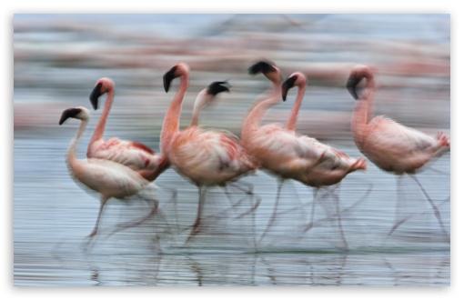 Lesser Flamingos In Motion Lake Nakuru National Park Kenya Africa UltraHD Wallpaper for Wide 16:10 5:3 Widescreen WHXGA WQXGA WUXGA WXGA WGA ; 8K UHD TV 16:9 Ultra High Definition 2160p 1440p 1080p 900p 720p ; Standard 4:3 3:2 Fullscreen UXGA XGA SVGA DVGA HVGA HQVGA ( Apple PowerBook G4 iPhone 4 3G 3GS iPod Touch ) ; iPad 1/2/Mini ; Mobile 4:3 5:3 3:2 16:9 - UXGA XGA SVGA WGA DVGA HVGA HQVGA ( Apple PowerBook G4 iPhone 4 3G 3GS iPod Touch ) 2160p 1440p 1080p 900p 720p ;