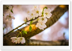 Let The Cherry Blossoms Bloom HD Wide Wallpaper for 4K UHD Widescreen desktop & smartphone
