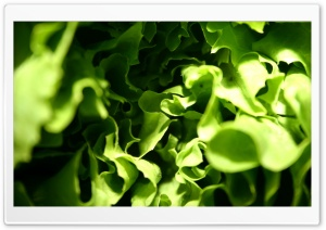 Lettuce Macro HD Wide Wallpaper for Widescreen