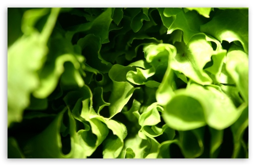Lettuce Macro HD wallpaper for Wide 16:10 5:3 Widescreen WHXGA WQXGA WUXGA WXGA WGA ; HD 16:9 High Definition WQHD QWXGA 1080p 900p 720p QHD nHD ; Standard 4:3 5:4 3:2 Fullscreen UXGA XGA SVGA QSXGA SXGA DVGA HVGA HQVGA devices ( Apple PowerBook G4 iPhone 4 3G 3GS iPod Touch ) ; Tablet 1:1 ; iPad 1/2/Mini ; Mobile 4:3 5:3 3:2 16:9 5:4 - UXGA XGA SVGA WGA DVGA HVGA HQVGA devices ( Apple PowerBook G4 iPhone 4 3G 3GS iPod Touch ) WQHD QWXGA 1080p 900p 720p QHD nHD QSXGA SXGA ; Dual 16:10 5:3 16:9 4:3 5:4 WHXGA WQXGA WUXGA WXGA WGA WQHD QWXGA 1080p 900p 720p QHD nHD UXGA XGA SVGA QSXGA SXGA ;