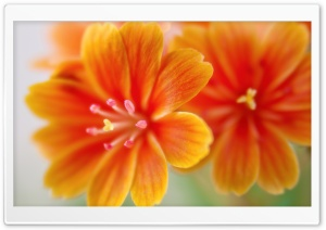 Lewisia HD Wide Wallpaper for Widescreen
