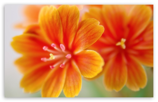 Lewisia UltraHD Wallpaper for Wide 16:10 5:3 Widescreen WHXGA WQXGA WUXGA WXGA WGA ; 8K UHD TV 16:9 Ultra High Definition 2160p 1440p 1080p 900p 720p ; UHD 16:9 2160p 1440p 1080p 900p 720p ; Standard 4:3 5:4 3:2 Fullscreen UXGA XGA SVGA QSXGA SXGA DVGA HVGA HQVGA ( Apple PowerBook G4 iPhone 4 3G 3GS iPod Touch ) ; Smartphone 5:3 WGA ; Tablet 1:1 ; iPad 1/2/Mini ; Mobile 4:3 5:3 3:2 16:9 5:4 - UXGA XGA SVGA WGA DVGA HVGA HQVGA ( Apple PowerBook G4 iPhone 4 3G 3GS iPod Touch ) 2160p 1440p 1080p 900p 720p QSXGA SXGA ;
