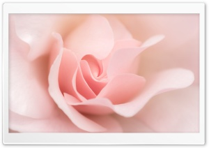 Ligh Pink Rose Macro HD Wide Wallpaper for Widescreen