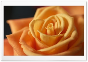 Light Orange Rose HD Wide Wallpaper for Widescreen