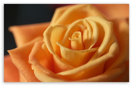 Light Orange Rose ❤ 4K UHD Wallpaper for Wide 16:10 5:3 Widescreen WHXGA WQXGA WUXGA WXGA WGA ; 4K UHD 16:9 Ultra High Definition 2160p 1440p 1080p 900p 720p ; UHD 16:9 2160p 1440p 1080p 900p 720p ; Standard 4:3 5:4 Fullscreen UXGA XGA SVGA QSXGA SXGA ; iPad 1/2/Mini ; Mobile 4:3 5:3 5:4 - UXGA XGA SVGA WGA QSXGA SXGA ;
