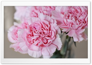 Light Pink Carnations Flowers HD Wide Wallpaper for Widescreen