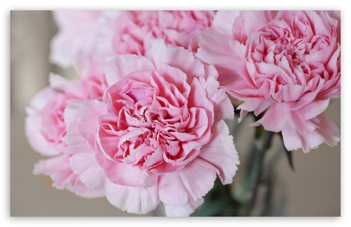 Light Pink Carnations Flowers ❤ 4K UHD Wallpaper for Wide 16:10 5:3 Widescreen WHXGA WQXGA WUXGA WXGA WGA ; 4K UHD 16:9 Ultra High Definition 2160p 1440p 1080p 900p 720p ; Standard 4:3 5:4 3:2 Fullscreen UXGA XGA SVGA QSXGA SXGA DVGA HVGA HQVGA ( Apple PowerBook G4 iPhone 4 3G 3GS iPod Touch ) ; Smartphone 5:3 WGA ; Tablet 1:1 ; iPad 1/2/Mini ; Mobile 4:3 5:3 3:2 16:9 5:4 - UXGA XGA SVGA WGA DVGA HVGA HQVGA ( Apple PowerBook G4 iPhone 4 3G 3GS iPod Touch ) 2160p 1440p 1080p 900p 720p QSXGA SXGA ;
