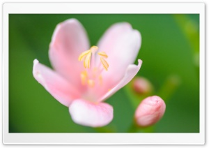 Light Pink Flower, Green Blurry Background HD Wide Wallpaper for Widescreen