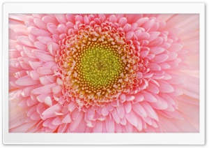 Light Pink Gerbera HD Wide Wallpaper for Widescreen