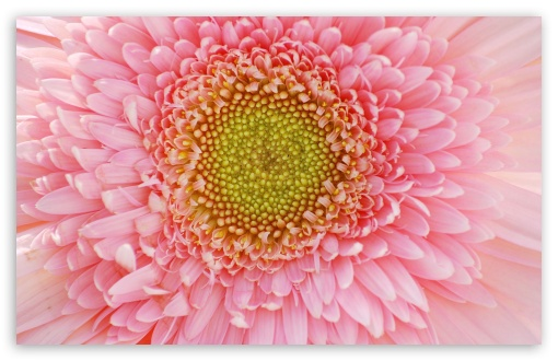 Light Pink Gerbera HD wallpaper for Wide 16:10 5:3 Widescreen WHXGA WQXGA WUXGA WXGA WGA ; HD 16:9 High Definition WQHD QWXGA 1080p 900p 720p QHD nHD ; Standard 4:3 5:4 3:2 Fullscreen UXGA XGA SVGA QSXGA SXGA DVGA HVGA HQVGA devices ( Apple PowerBook G4 iPhone 4 3G 3GS iPod Touch ) ; iPad 1/2/Mini ; Mobile 4:3 5:3 3:2 16:9 5:4 - UXGA XGA SVGA WGA DVGA HVGA HQVGA devices ( Apple PowerBook G4 iPhone 4 3G 3GS iPod Touch ) WQHD QWXGA 1080p 900p 720p QHD nHD QSXGA SXGA ;