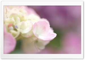 Light Pink Hydrangea Macro HD Wide Wallpaper for Widescreen