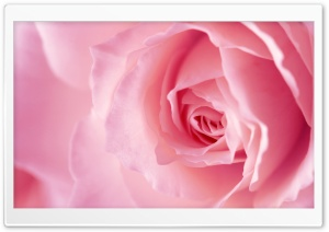 Light Pink Rose Macro HD Wide Wallpaper for Widescreen