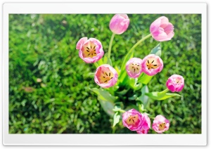 Light Pink Tulips in Vase, Outdoor HD Wide Wallpaper for Widescreen