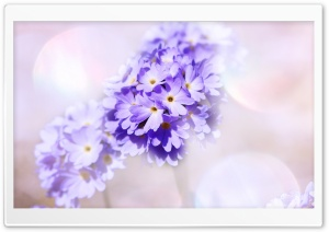 Light Purple Primrose Flowers HD Wide Wallpaper for Widescreen