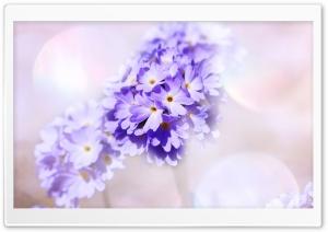 Light Purple Primrose Flowers Ultra HD Wallpaper for 4K UHD Widescreen desktop, tablet & smartphone