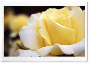 Light Yellow Rose HD Wide Wallpaper for Widescreen