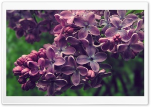 Lilac HD Wide Wallpaper for Widescreen