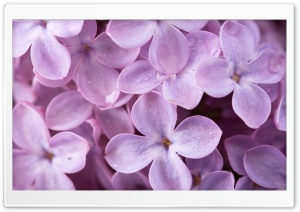Lilac HD Wide Wallpaper for 4K UHD Widescreen desktop & smartphone