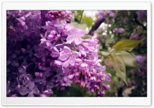 Lilac Ultra HD Wallpaper for 4K UHD Widescreen desktop, tablet & smartphone