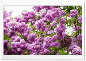 Lilac Blossom HD Wide Wallpaper for Widescreen
