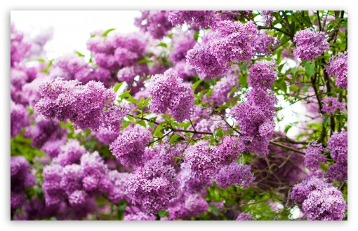 Lilac Blossom HD wallpaper for Standard 4:3 5:4 Fullscreen UXGA XGA SVGA QSXGA SXGA ; Wide 16:10 5:3 Widescreen WHXGA WQXGA WUXGA WXGA WGA ; HD 16:9 High Definition WQHD QWXGA 1080p 900p 720p QHD nHD ; Other 3:2 DVGA HVGA HQVGA devices ( Apple PowerBook G4 iPhone 4 3G 3GS iPod Touch ) ; Mobile VGA WVGA iPhone iPad PSP Phone - VGA QVGA Smartphone ( PocketPC GPS iPod Zune BlackBerry HTC Samsung LG Nokia Eten Asus ) WVGA WQVGA Smartphone ( HTC Samsung Sony Ericsson LG Vertu MIO ) HVGA Smartphone ( Apple iPhone iPod BlackBerry HTC Samsung Nokia ) Sony PSP Zune HD Zen ; Tablet 2 Android ;