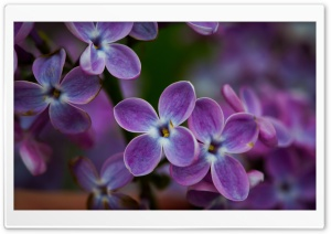 Lilac Blossoms Closeup HD Wide Wallpaper for Widescreen