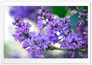 Lilac Branch Ultra HD Wallpaper for 4K UHD Widescreen desktop, tablet & smartphone